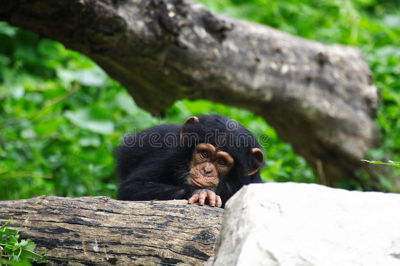 Baby chimpanzee. A baby chimpanzee in beijing zoo royalty free stock images