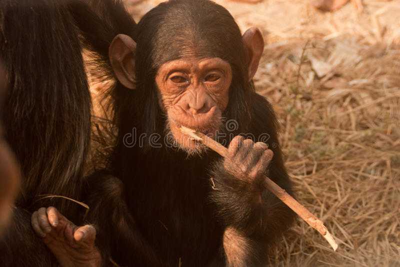 Baby chimpanzee. Gnawing a stick in zambian chimfunshi sanctuary royalty free stock photos