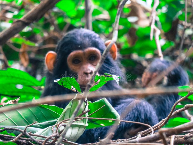 Baby chimpanzee in Gomnbe National Park. Baby Chimpanzee in Gombe National Park forest. His name is Gosama stock image