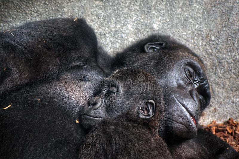 Baby chimpanzee sleeping at his mother chest. Close up view of a baby chimpanzee sleeping at his mother& x27;s chest africa african animal ape black bond care royalty free stock images