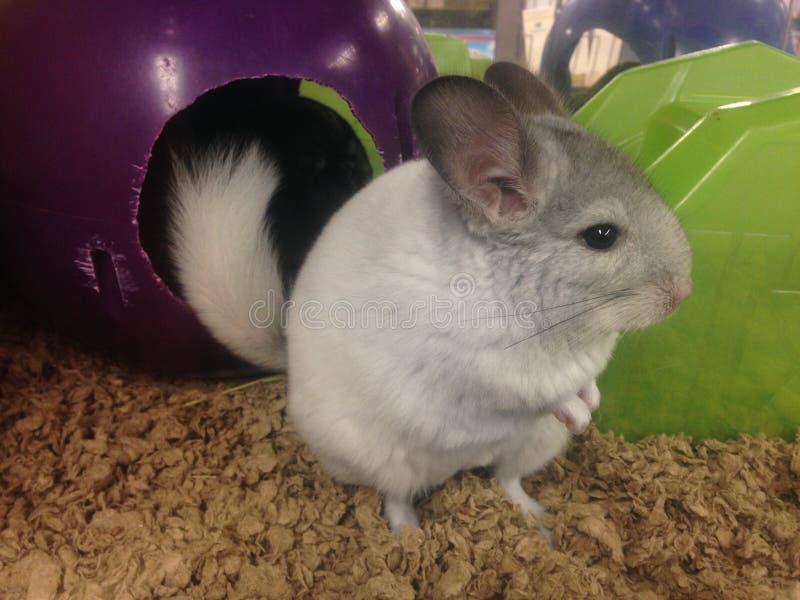 A Baby Chinchilla. stock image
