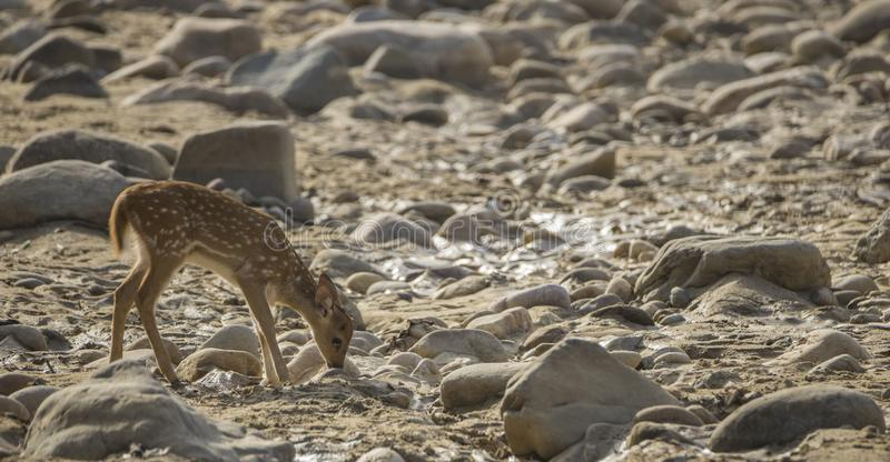 The baby chital or cheetal, also known as spotted deer or axis deer is searching for food in a dry river belt area during summer. royalty free stock photography