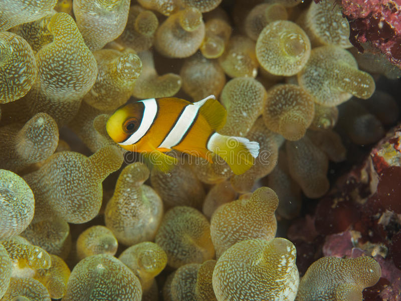 Baby Clown fish in Anemone stock photography