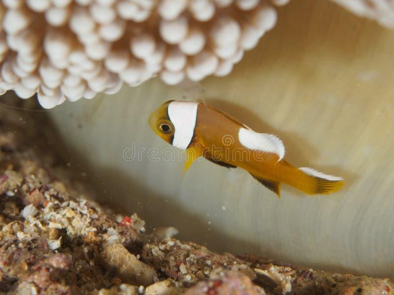 Baby-Clownfische in der Anemone lizenzfreie stockfotografie