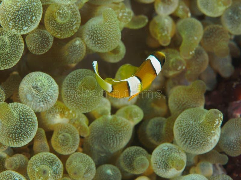 Baby-Clownfische in der Anemone stockbild