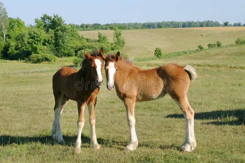 Download Baby Clydesdales stock photo. Image of eating, hungry - 1677730