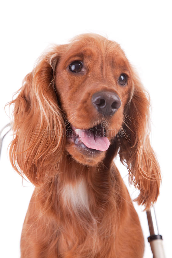 Baby Cocker Spaniel stock images