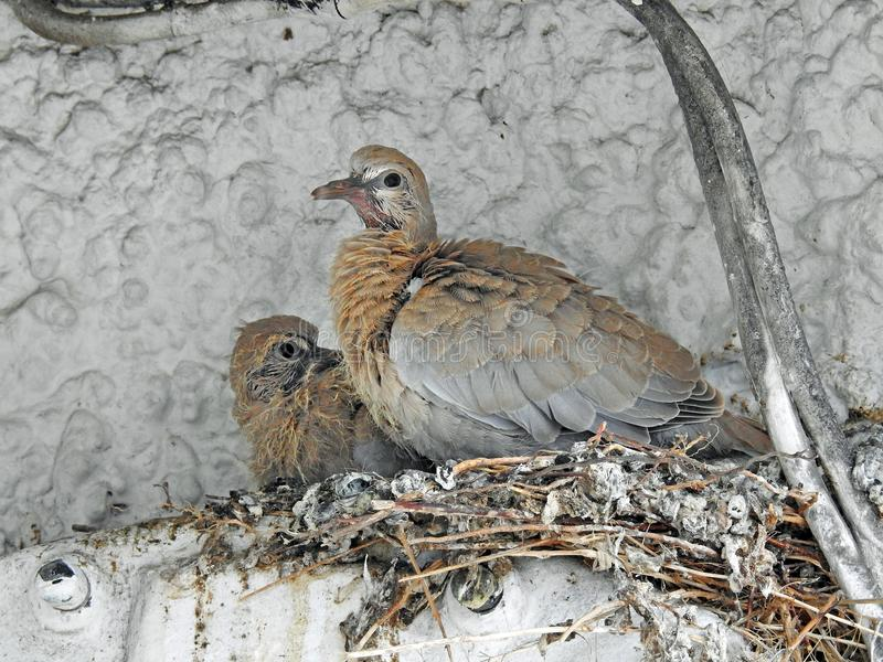 Baby collared duiven die in nest op brij wachten royalty-vrije stock fotografie