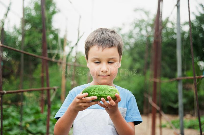 Baby collects cucumbers from the garden. Baby collects cucumbers from garden. 4 years boy eats cucumbers at plant, little child holding a cucumber. Concept of stock image