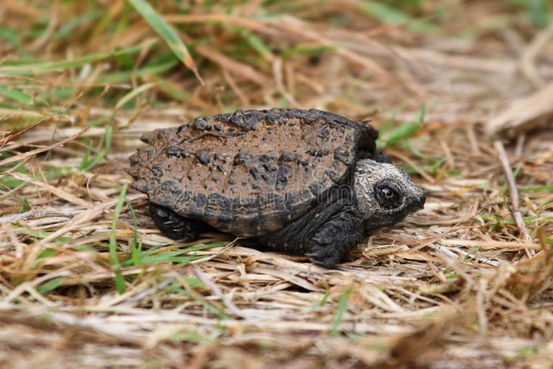 Download Baby Common Snapping Turtle Stock Image - Image: 34233573