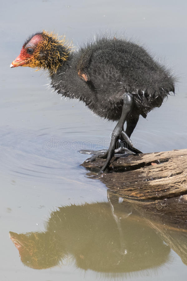 Download Baby coot stock image. Image of pond, reflection, infant - 97375233