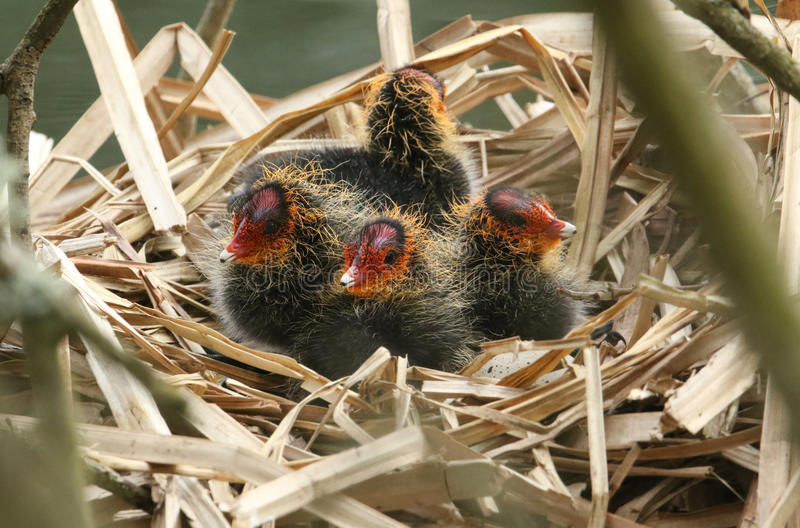 Baby Coots, Fulica atra, sitting on their nest. stock photos
