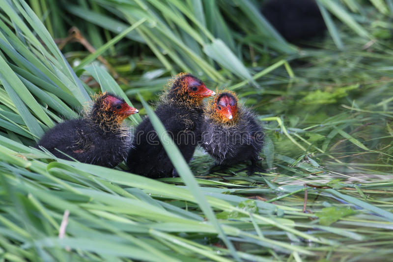 Baby Coots, Fulica atra, sitting on their nest. royalty free stock image