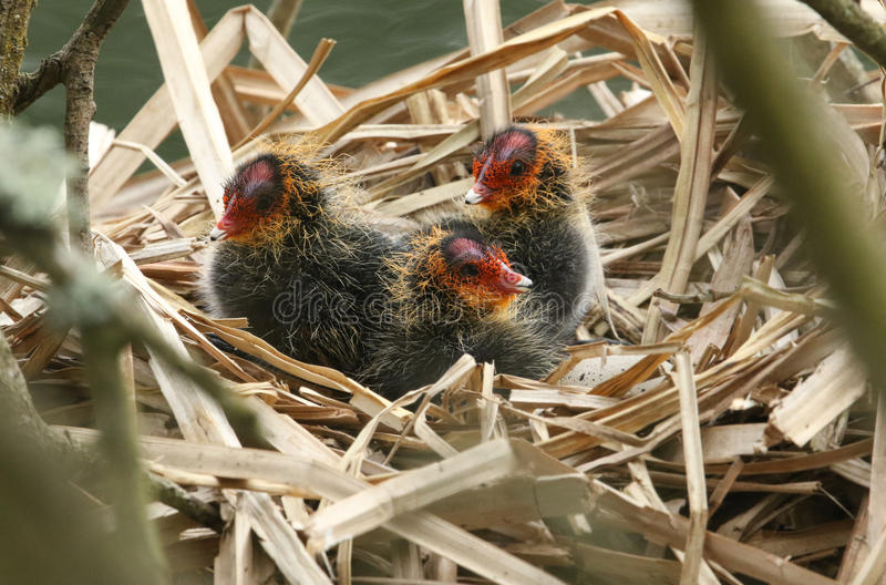 Baby Coots, Fulica atra, sitting on their nest. royalty free stock photography