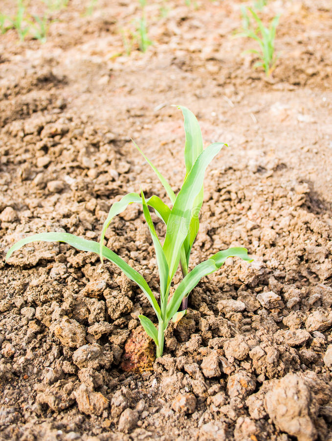 Baby corn are growing in field royalty free stock photos