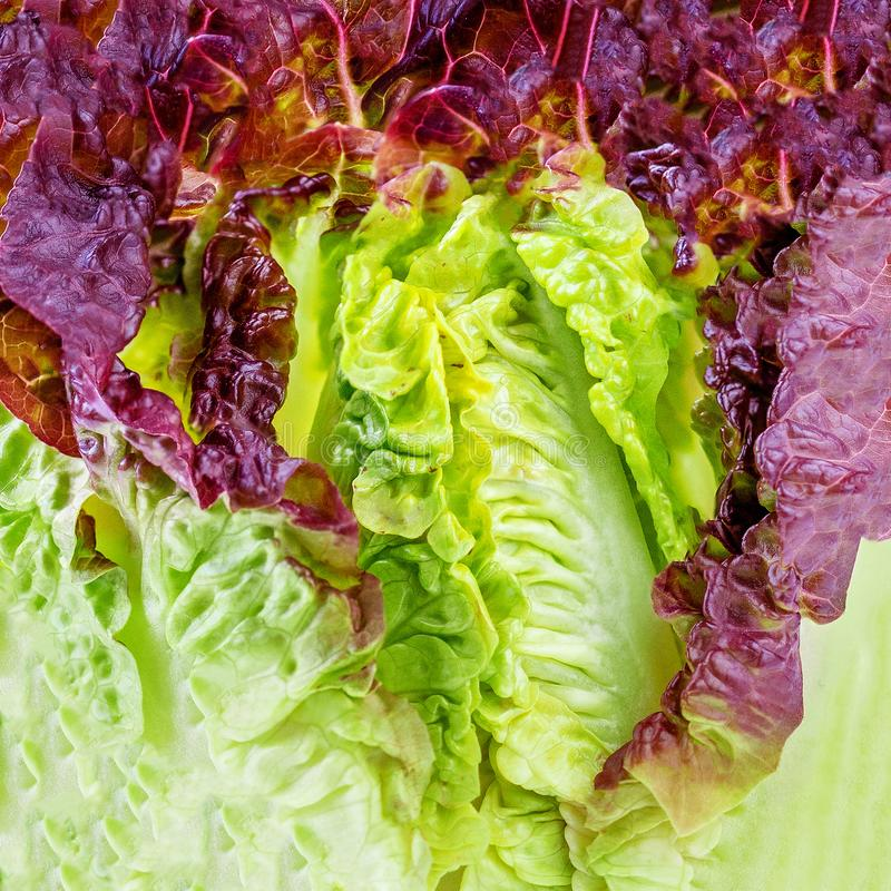 Baby Cos Lettuce Salad  leaves as Background. Fresh green Romaine Lettuce  texture royalty free stock images