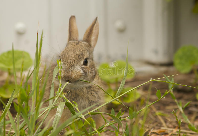 Baby Cottontail Eating Grass Royalty Free Stock Photography