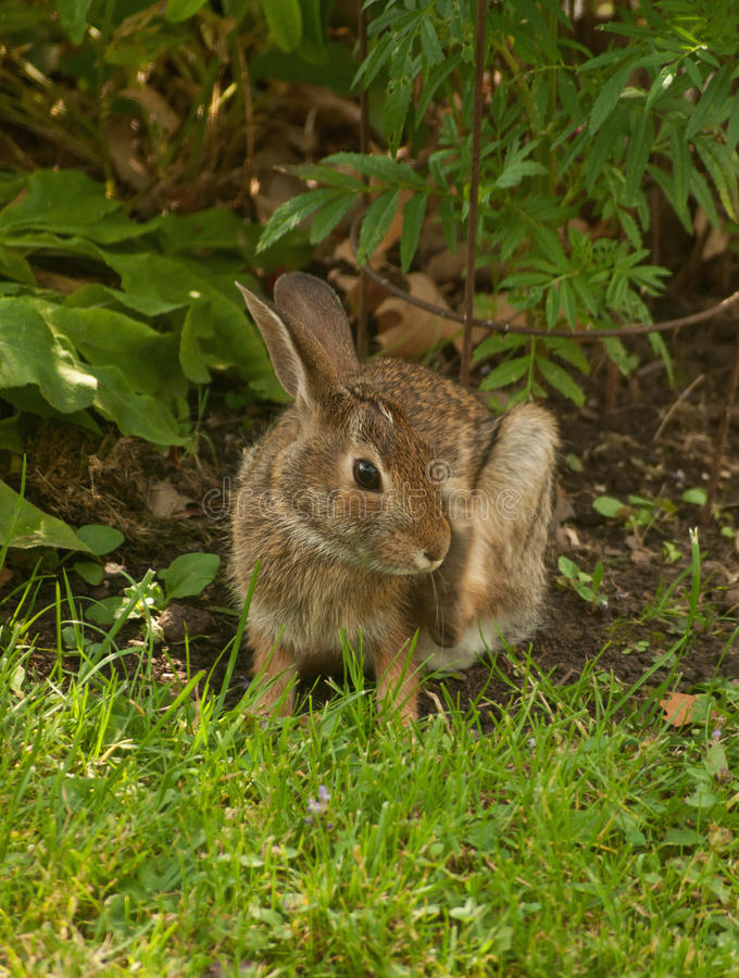 Baby Cottontail Rabbit Stock Image