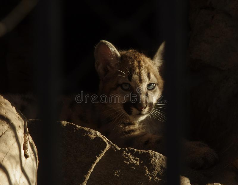 Baby cougars behind bars in the zoo stock photography