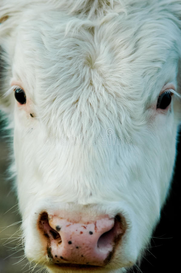 Baby cow. A close portrait of a baby cow ,Kefalonia, Greece stock photo