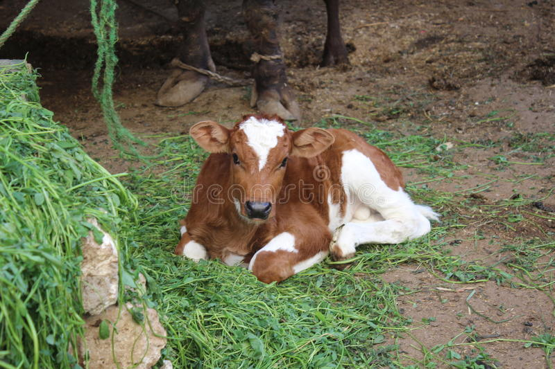 Calf sitting in barn stock image. Image of dairy, nature ...