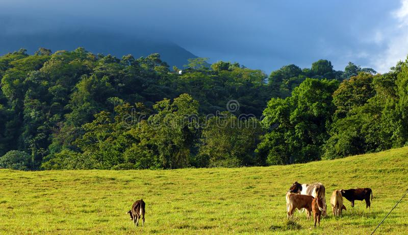 Baby cows eating grass in field with jungle and volcano in background, Costa Rica country. Baby cows eating grass in field with jungle and volcano in background stock photos