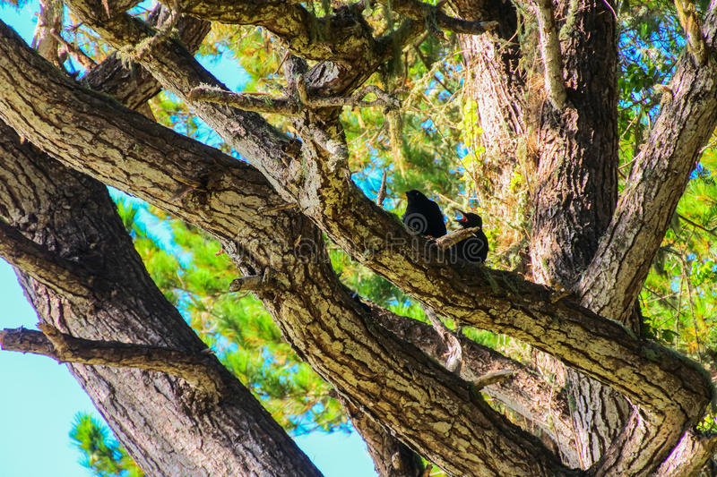 Baby Crow being Fed by Parent Crow. In trees with mouth open stock image