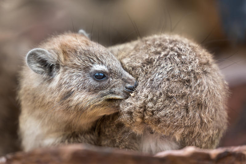 Baby dassie stock photography