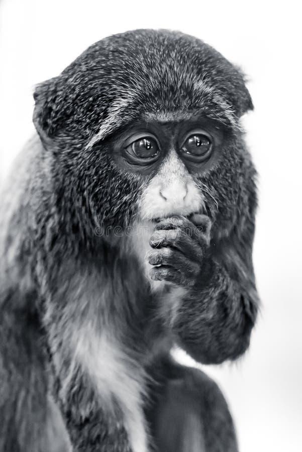 Baby De Brazza's Monkey. Frontal Portrait of a Baby De Brazza's Monkey royalty free stock photography