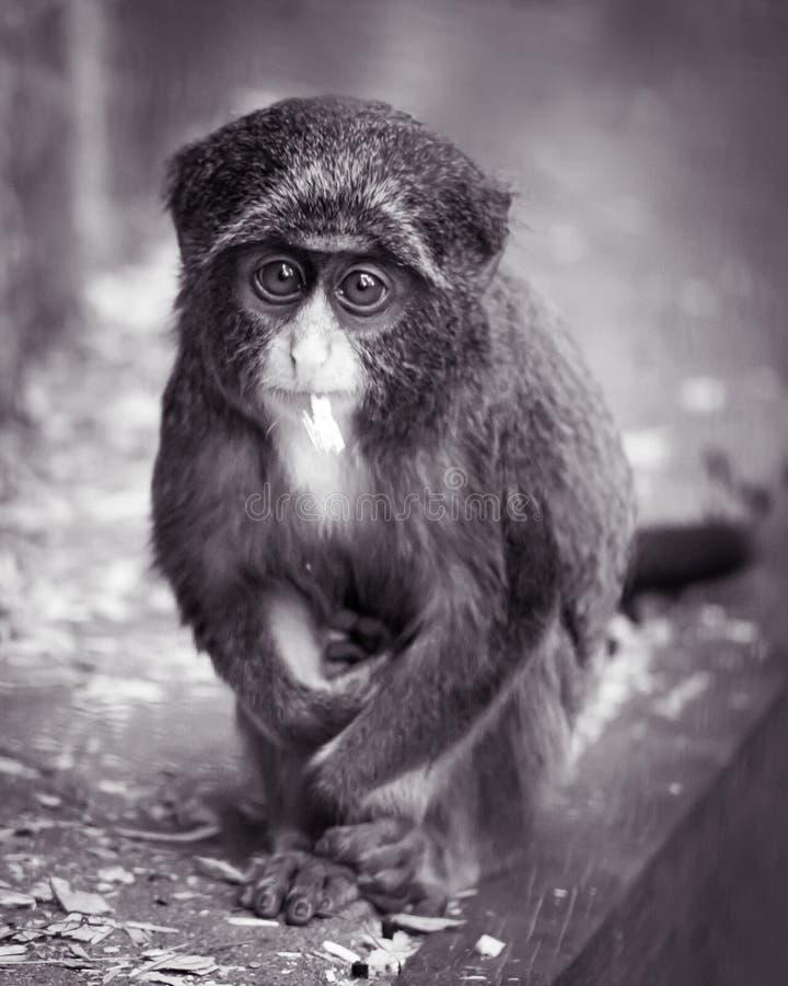 Baby De Brazza's Monkey II. Frontal Portrait of a Baby De Brazza's Monkey royalty free stock photography