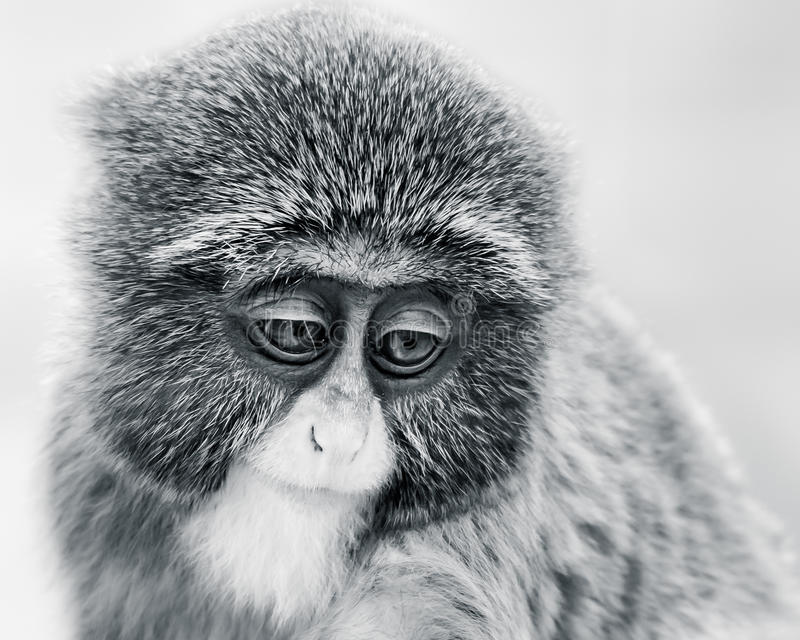 Baby De Brazza's Monkey VI. Frontal Portrait of a De Brazza's Monkey Against a White Background royalty free stock images