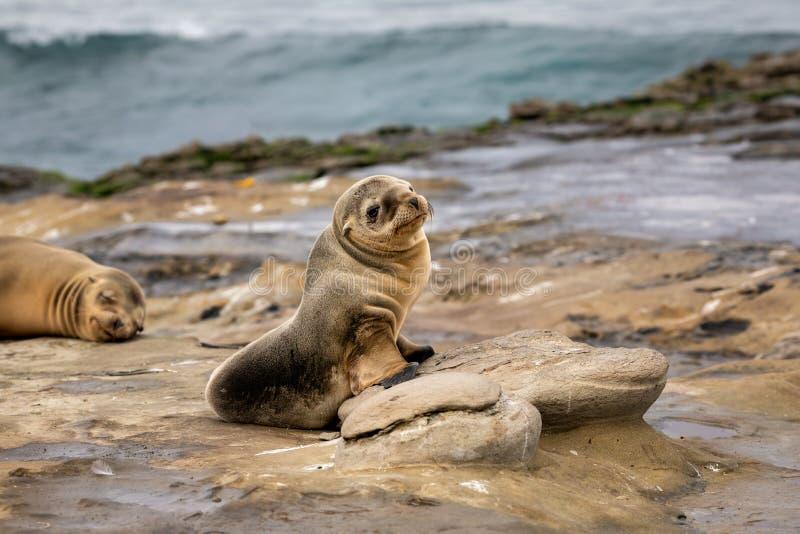 Baby de Overzeese zitting van Lion Pup op de rotsen - La Jolla, San Diego, Californië stock fotografie