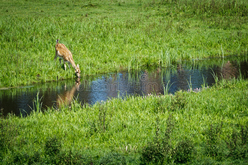 Baby deer drinking water from river stock photography