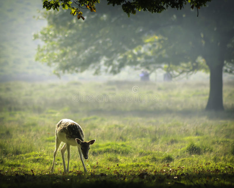 Baby deer in the early morning sunlight. A picture of a baby deer taken in the soft early morning sunlight at Petworth House royalty free stock photos