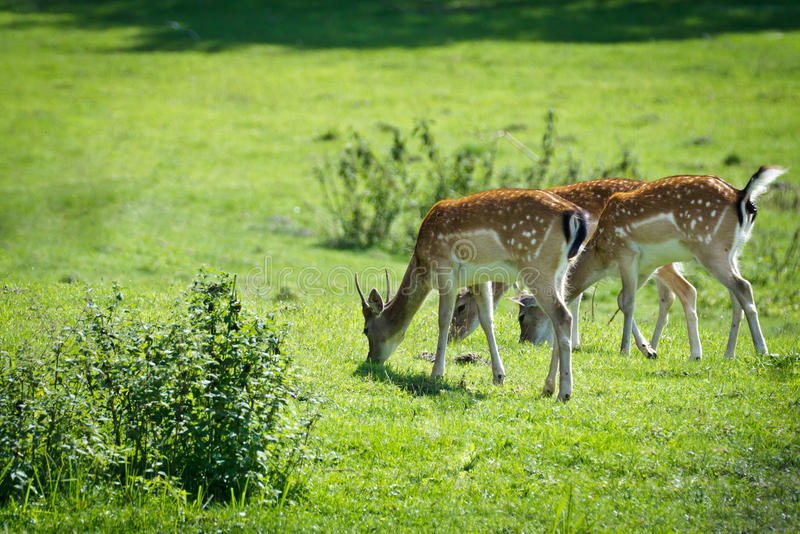 Baby deer eating grass on the meadow stock photo