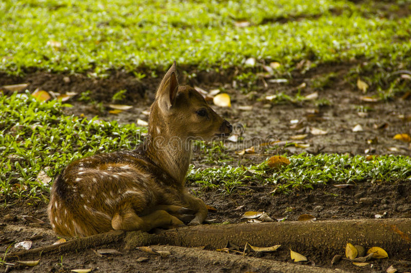 A Baby Deer On The Grass Stock Image