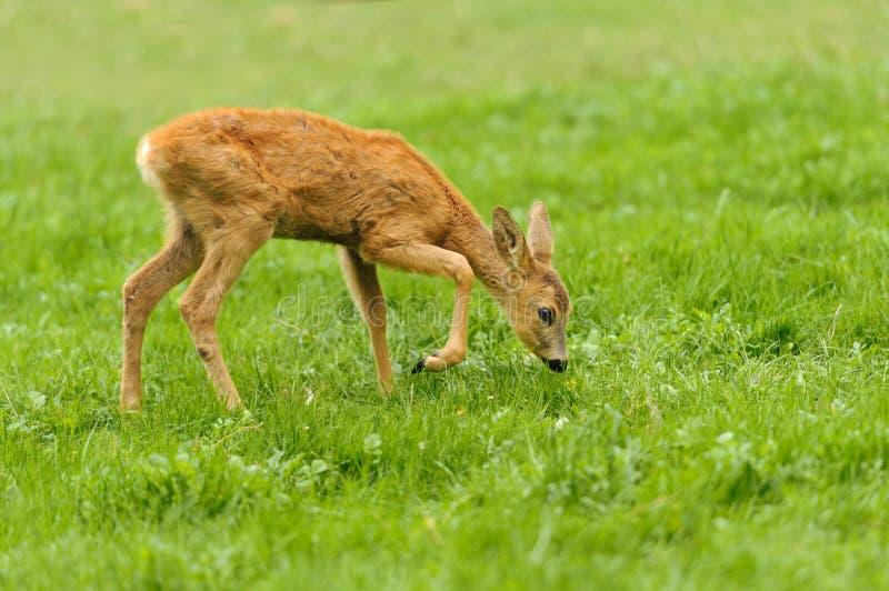 Baby deer stock photo
