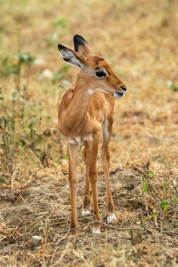 Baby deer at Maasai Mara NR, Kenya royalty free stock photos