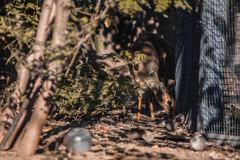 Baby deer in  the zoo in Moscow. Baby deer in the zoo in Moscow. Beautiful eyes of a fawn. A wild animal in captivity. Cub. Graze deer stock images