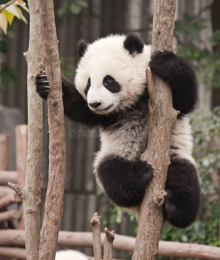 Baby des großen Pandas stockfotos
