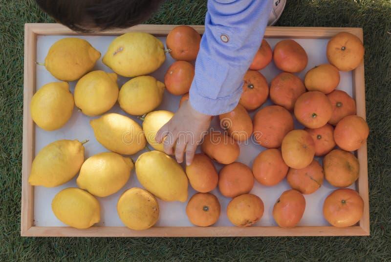Baby die citroenen en mandarijnen met de hand plukken stock fotografie