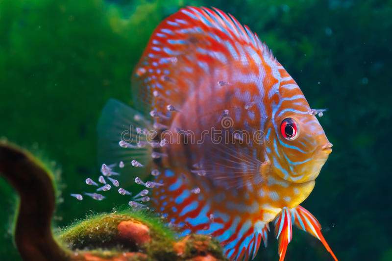 Baby discus fish swimming in freshwater stock photo for Dream of fish swimming