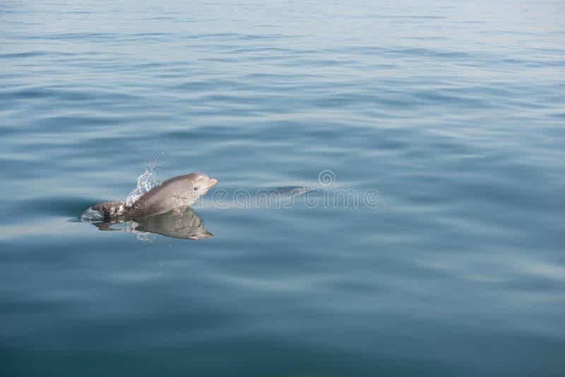 Baby dolphin calf jumping sea ocean emerging royalty free stock photos