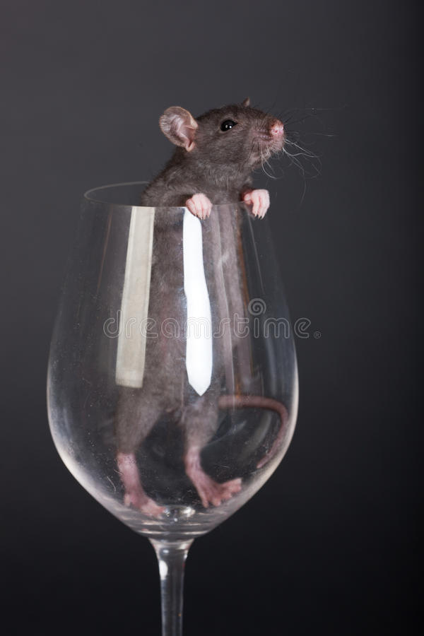 Download Baby domestic rat stock image. Image of pets, backgrounds - 24584513