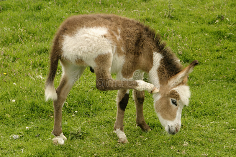 Baby Donkey royalty free stock photography