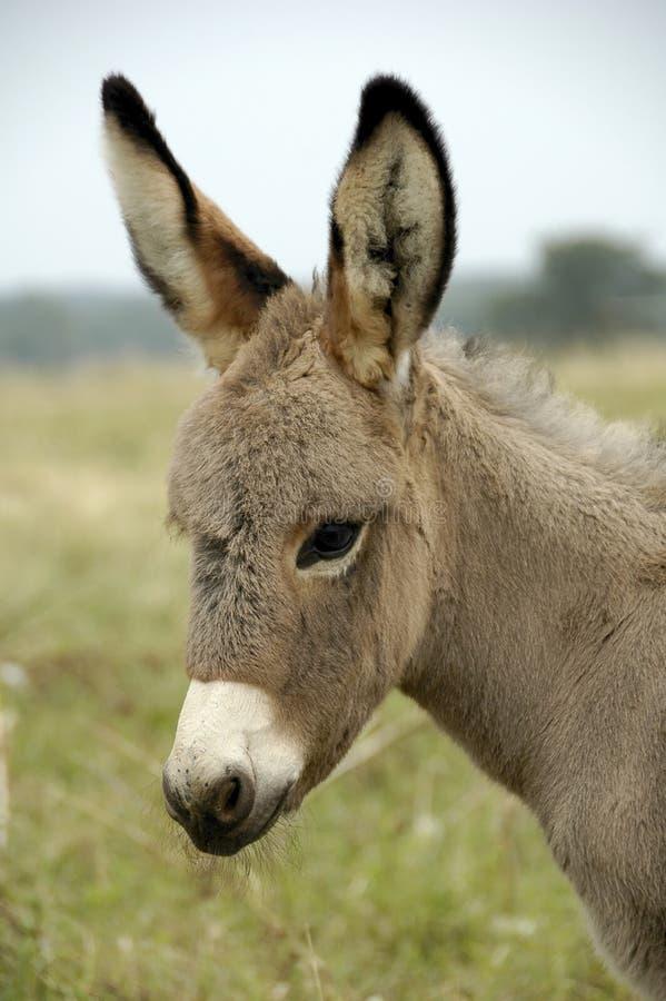 Baby Donkey royalty free stock photo