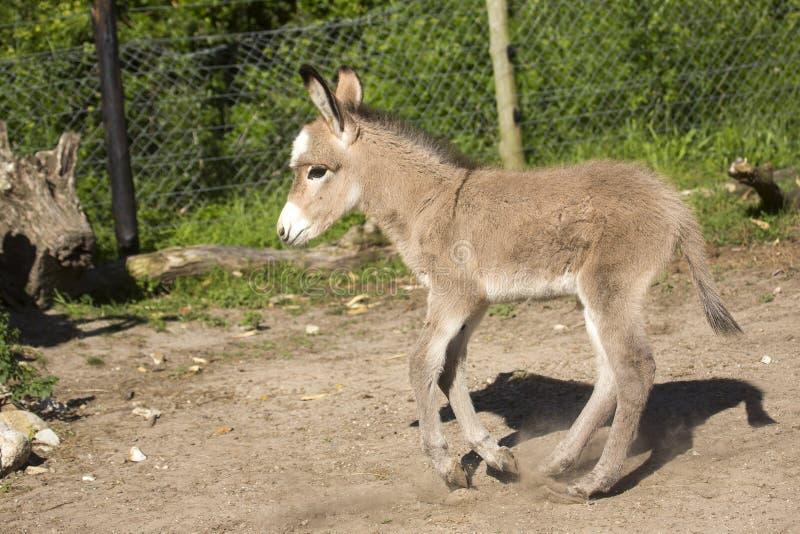 Baby Donkey foal royalty free stock photography