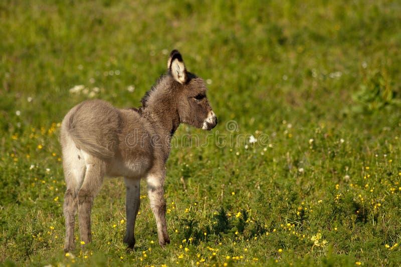 Baby donkey I stock photography
