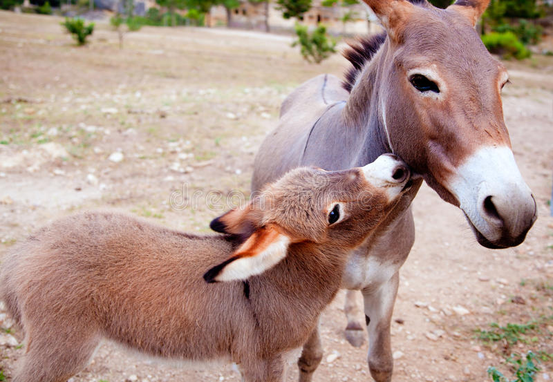 Baby donkey mule with mother royalty free stock photo