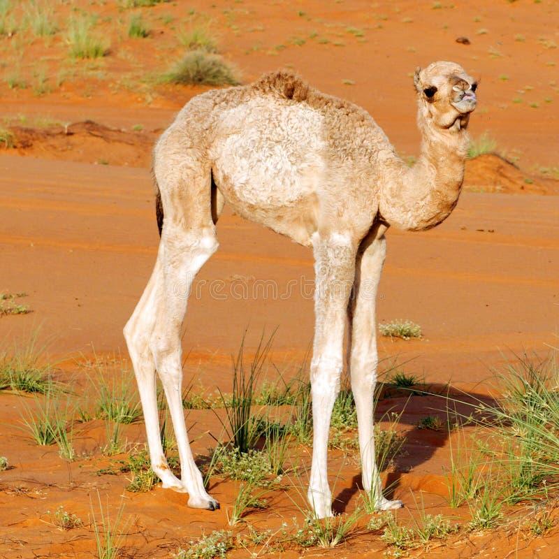 Baby dromedary camel stock photo